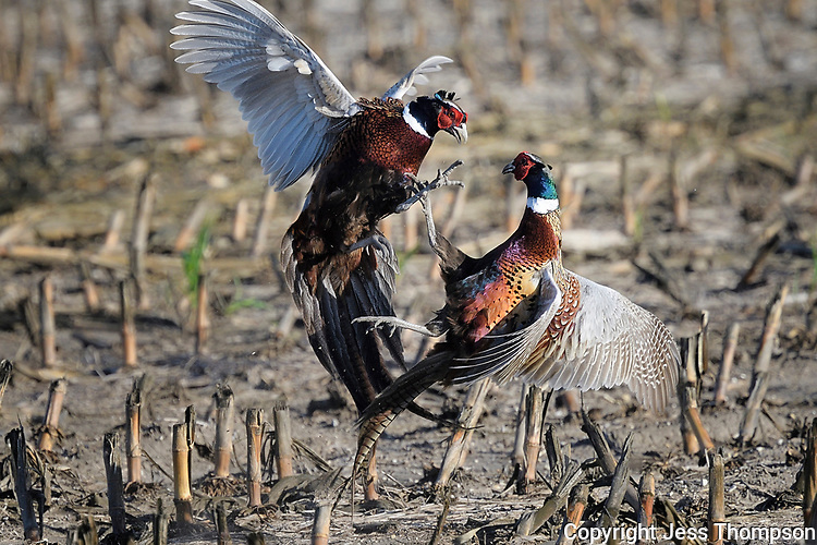 Sparring Ring-necked  Pheasants, Ringneck Ranch, Tipton Kansas