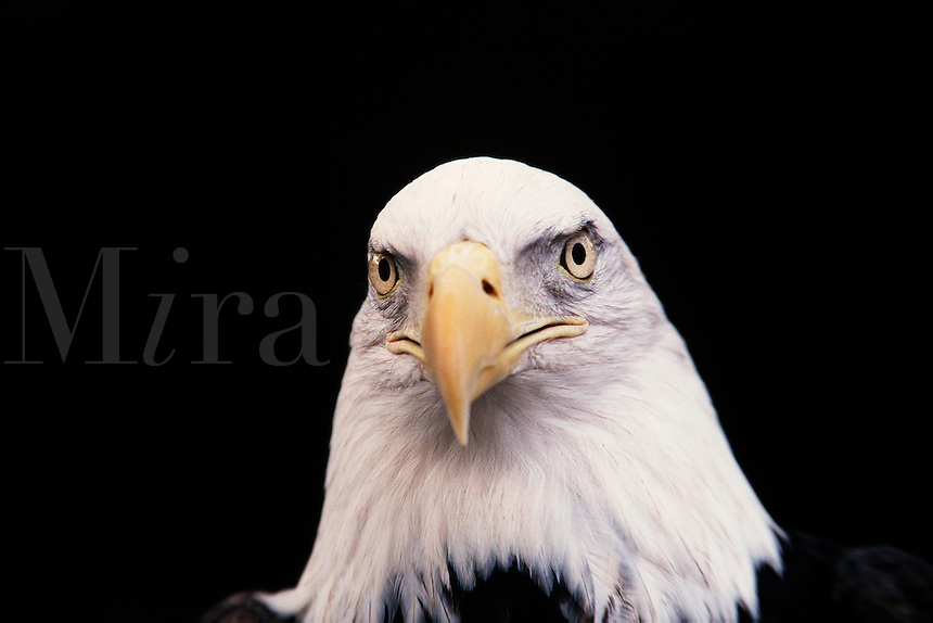 Portrait of the head of a Bald eagle.