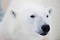 Norway, Svalbard, male polar bear, portrait, close-up of head, ear tag