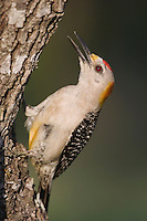 Golden-fronted Woodpecker, Melanerpes aurifrons, male calling, Willacy County, Rio Grande Valley, Texas, USA, June 2006