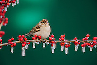 Chipping Sparrow (Spizella passerina), adult on ice covered Possum Haw Holly (Ilex decidua) berries, New Braunfels, San Antonio, Hill Country, Central Texas, USA