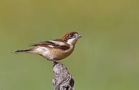 Woodchat Shrike - Lanius senator