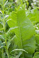 Meerrettich, Meer-Rettich, Kren, Armoracia rusticana, syn. Cochlearia armoracia, Horseradish, Horse-radish