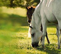 Grazing mare with foal.