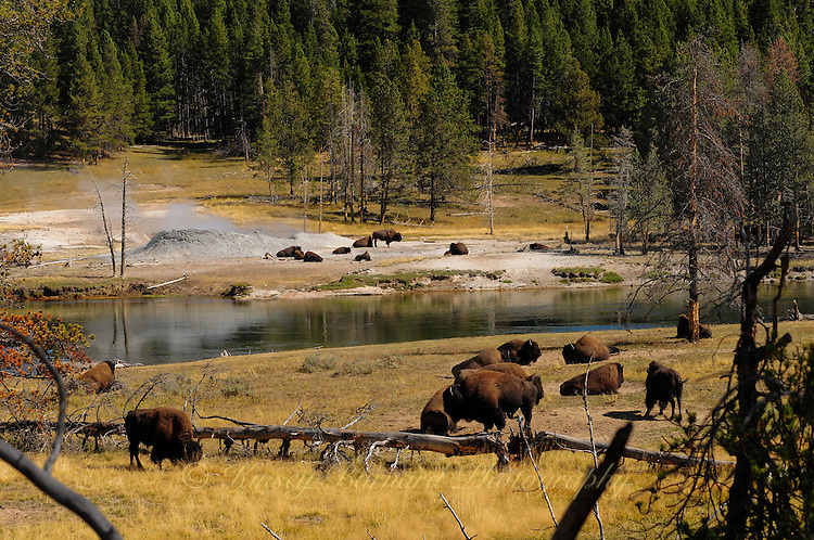 Bison grazing on the Yellowstone River.