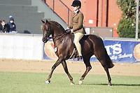 Champion Hunter Pony