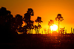 Palms in marsh at sunset, Ibera Provincial Reserve, Ibera Wetlands, Argentina
