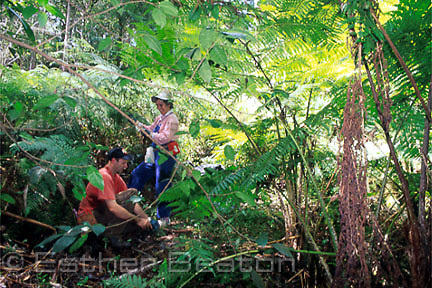 Conservationists, man and woman, maintaining a reserve for Flying Foxes in Gordon, a suburb of Sydney, New South Wales.