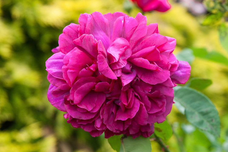 Rosa The Dark Lady ('Ausbloom'), late June. A dark crimson rose with a strong old rose fragrance. From David Austin, 1991.