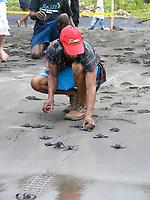 local researcher helps to release leatherback sea turtle hatchlings, Dermochelys coriacea, Dominica, Caribbean, Atlantic