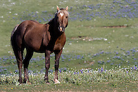 "2001 Cloud colt, mother Pococeno. Bolder's unique color is what is known as a ""Sooty Palomino"". Bolder is big and powerful stallion himself now with a band of his own."