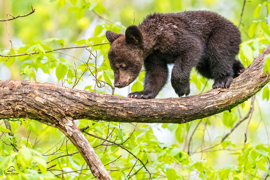 """With their amazing sense of smell, abundant energy and uncanny agility, Black Bears (Ursus americanus) are excellent trackers. This tiny spring cub was high up in a wet tree. No idea what he was """"tracking"""" - probably an insect - though he looked very serious about it. Vince Shute Wildlife Sanctuary, Orr, Minnesota."""