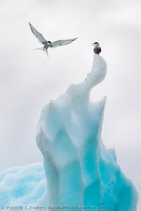 Arctic terns perch on large iceberg in the Grand Plateau lake along the Gulf of Alaska, Glacier Bay National Park, Southeast, Alaska