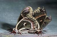 LE04-003x  Cecropia Moth - adults mating - Hyalophora cecropia .