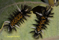 LE44-517z  Milkweed Tiger Moth Caterpillar on milkweed leaves, Euchaetias egle