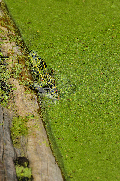 Western Painted turtle preparing to climb out onto log.  June.  Western U.S..  Pond and turtle are covered with duckweed.