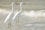 Sanibel Lighthouse Beach, Sanibel Island, Florida; two Snowy Egrets (Egretta thula) stand in the shallow surf zone near the fishing pier © Matthew Meier Photography, matthewmeierphoto.com All Rights Reserved