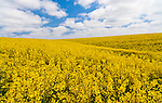 Bright yellow canola flowers fill a distant field in the Palouse region of Eastern Washington State.