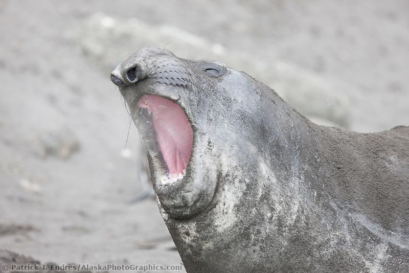 Elephant seals, Hannah Point, Livingston Island, Antarctica.