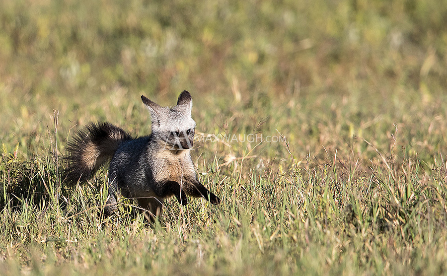 One of the top animals I hoped to see again during this visit was the bat-eared fox. We had good luck with them, even spotting them from our hot air balloon!