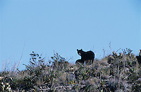 Black Bear, Ursus americanus, female with cub, Big Bend National Park, Texas, USA, March 2005