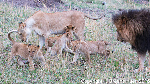 Lion Family Gathering  Kenya 2015