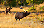 Elk in Meadow at Sunset, Norris Junction, Yellowstone National Park, Wyoming