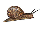 A common brown garden snail in its spiral shell with eye-tentacles extended in a cut-out, background removed.