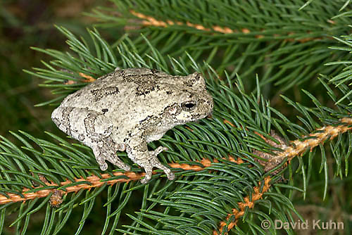 0303-0902  Eastern Gray Treefrog (Grey Tree Frog) on Pine Tree Branch, Hyla versicolor  © David Kuhn/Dwight Kuhn Photography