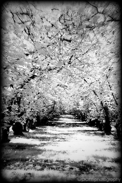 Black and white image of Hazlenut tree orchard