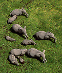 Aerial of African bush elephants (Loxodonta africana), Amboseli National Park, Kenya<br /> <br /> Nikon, Nikkor lens, Fujichrome Velvia