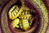 Close up of a native indigenous hapuu fern Scientific name: Cibotium splendens