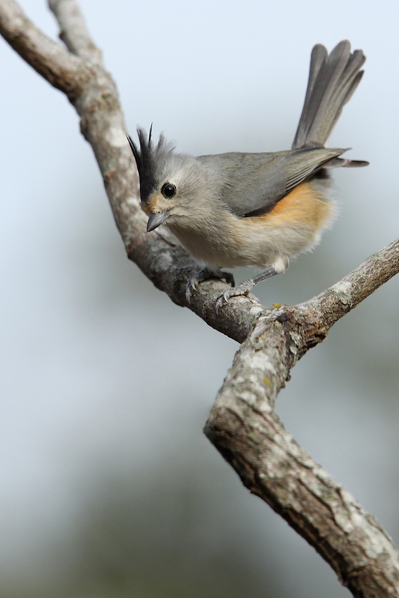 Black-crested Titmouse on a gusty Texas morning.