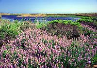 Flower field on the California coast
