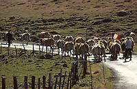 Europe/France/Auvergne/12/Aveyron: Aubrac - Transport du lait au buron de canut - Fourme de Laguiole AOC