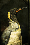 A taxidermy King Penguin.