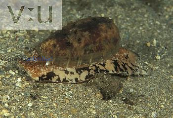 Cone Shell ,Conus aulicus,, Fiji.