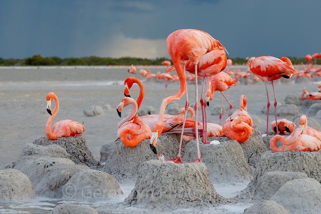 American Flamingo (Phoenicopterus ruber) feeding chick in colony. Yucatan, Mexico.