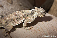 0610-1003  Desert Horned Lizard or Horny Toad (Mojave Desert), Phrynosoma platyrhinos  © David Kuhn/Dwight Kuhn Photography