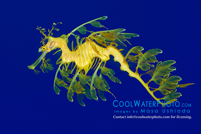 leafy sea dragon or leafy seadragon, Phycodurus eques, endemic to southern Australia, Eastan Indian Ocean (c)