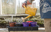 A six year old boy working in a greenhouse and watering seeds, Chipping, Lancashire.