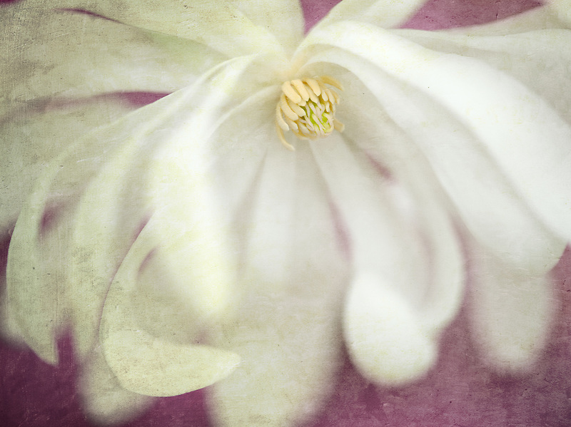 Close up of Royal Star Magnolia (magnolia stellata). Oregon