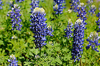 Bluebonnets, Kingsland, Texas