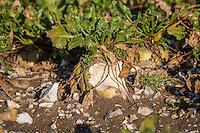 Sugar beet roots heavily grazed by vermin - Noefolk, February