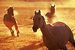 Three horses running in the morning light