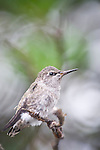 La Jolla, California;  a newly fledged, three week old Anna's Hummingbird (Calypte anna) chick, sitting on a branch, having left the nest for the first time moments earlier, waiting to be fed by it's mother
