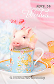 Samantha, ANIMALS, REALISTISCHE TIERE, ANIMALES REALISTICOS, funny, photos+++++Pigs Tea Party master,AUKP56,#a#