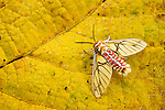 Tiger Moth (Balacra rubrostriata) showing aposematic coloration, Kibale National Park, western Uganda