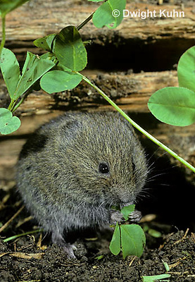 MU30-006z  Meadow Vole - eating leaves along tunnel of wood - Microtus pennsylvanicus