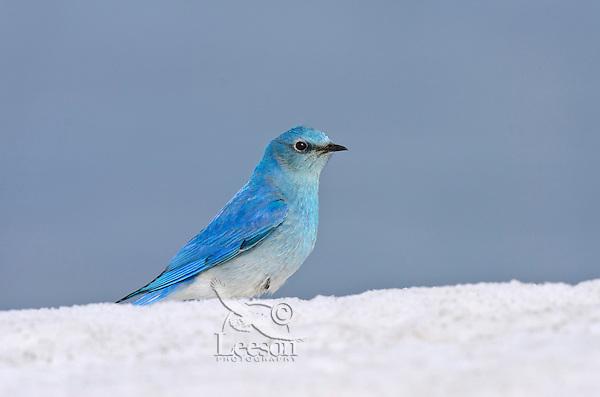 Male Mountain Bluebird (Sialia currucoides) on late melting mountain snowbank.  Western U.S., May.